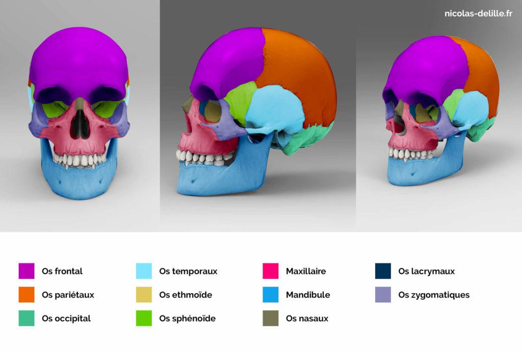 cranes 3D pour l'anatomie artistique